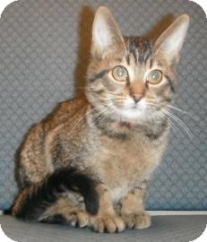 Domestic Shorthair Kitten for adoption in Jackson, Michigan - Noah