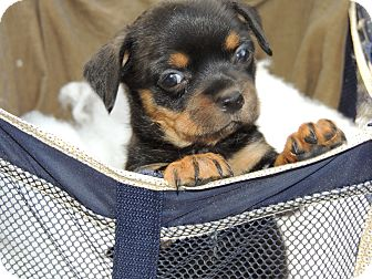 Brussels Griffon/Yorkie, Yorkshire Terrier Mix Puppy for adoption in Oviedo, Florida - Tebow