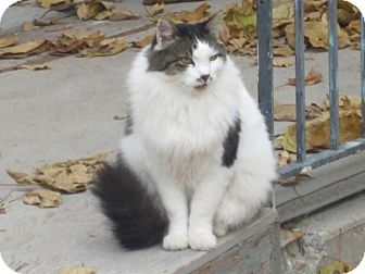 Maine Coon Cat for adoption in Ogden, Utah - Snuffy