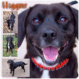 Labrador Retriever/Beagle Mix Dog for adoption in Garden City, Michigan - Higgins