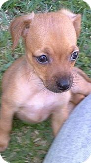 Chihuahua/Yorkie, Yorkshire Terrier Mix Puppy for adoption in Cranford, New Jersey - Sheena