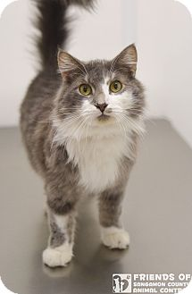 Domestic Mediumhair Cat for adoption in Springfield, Illinois - Fritz