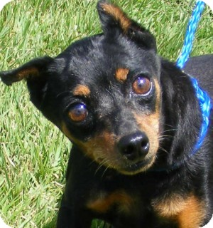 Miniature Pinscher Mix Dog for adoption in Olive Branch, Mississippi - Zoey