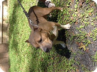 American Pit Bull Terrier Mix Dog for adoption in Walden, New York - Zelda