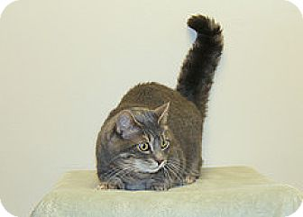 Domestic Shorthair Cat for adoption in Bellingham, Washington - Daisy
