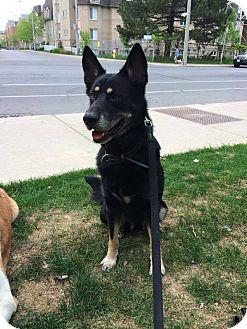 German Shepherd Dog Mix Dog for adoption in Peterborough, Ontario - MICKEY
