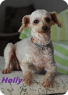 Maltese Mix Dog for adoption in Huntsville, Ontario - Holly - Adopted Aug 2015