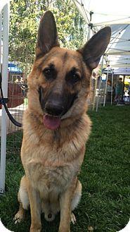German Shepherd Dog Dog for adoption in Modesto, California - Nismo