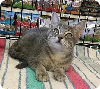 Domestic Shorthair Cat for adoption in Gilbert, Arizona - Mikki