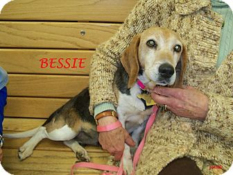 Beagle Dog for adoption in Ventnor City, New Jersey - BESSIE