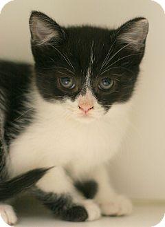 Domestic Shorthair Kitten for adoption in Staunton, Virginia - Dreamer