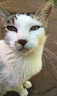 Domestic Shorthair Cat for adoption in San Francisco, California - Tyco