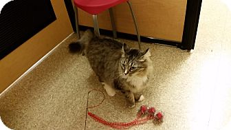 Domestic Longhair Cat for adoption in East Hartford, Connecticut - Nola (in CT)