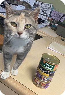 Calico Cat for adoption in Holland, Michigan - Whitney