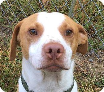 Pointer/Beagle Mix Dog for adoption in Brattleboro, Vermont - Scout