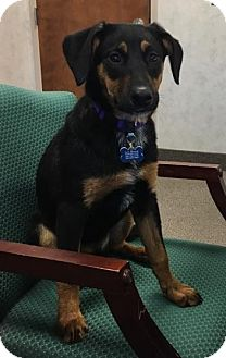 Cattle Dog/German Shepherd Dog Mix Dog for adoption in Akron, Ohio - Winnie