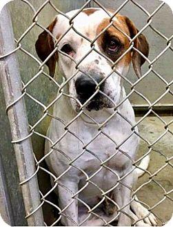 Labrador Retriever/Boxer Mix Dog for adoption in Zanesville, Ohio - Megazord - ADOPTED!