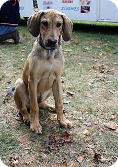 Great Dane Mix Puppy for adoption in New Oxford, Pennsylvania - Magnus
