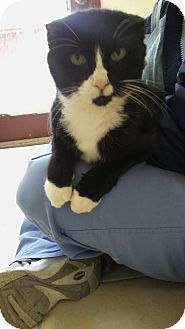 Domestic Shorthair Cat for adoption in Owenboro, Kentucky - SHOOKIE MONSTER!