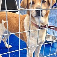 Australian Cattle Dog Mix Dog for adoption in New Kent, Virginia - SPONSORED!  Sparkle