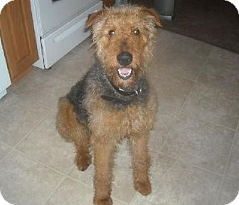 Airedale Terrier Dog for adoption in Winfield, Pennsylvania - Daphne