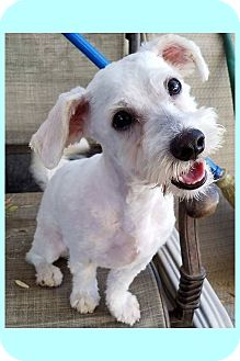 Schnauzer (Miniature)/Poodle (Miniature) Mix Puppy for adoption in Phoenix, Arizona - Elliot