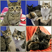 Adopt A Pet :: Kittens! - Dunkirk, NY