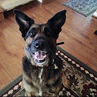 German Shepherd Dog/Rottweiler Mix Dog for adoption in Frederick, Maryland - Mollie