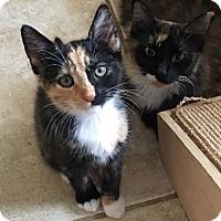 Adopt A Pet :: Linden - Hallandale, FL