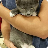 Russian Blue Kitten for adoption in Knoxville, Tennessee - Sir Puss
