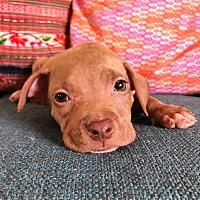 Adopt A Pet :: Saffron - santa monica, CA