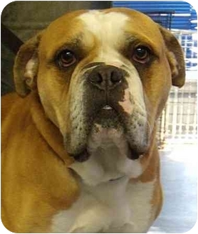 English Bulldog Mix Dog for adoption in South Euclid, Ohio - Barry