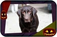 Labrador Retriever Dog for adoption in Foster, Rhode Island - Bear