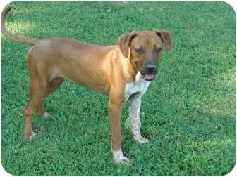 Australian Cattle Dog/Boxer Mix Dog for adoption in berwick, Maine - Cinnamon
