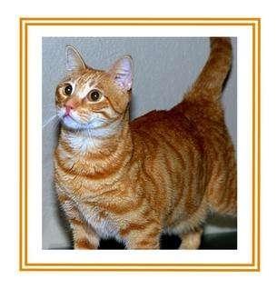 Domestic Shorthair Cat for adoption in Sugar Land, Texas - -O.C.