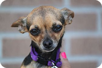 Chihuahua Mix Dog for adoption in McKinney, Texas - Cami
