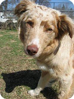 Border Collie/Australian Shepherd Mix Dog for adoption in Saskatoon, Saskatchewan - Bree