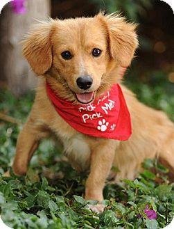 Corgi/Spaniel (Unknown Type) Mix Dog for adoption in Tustin, California - Joe