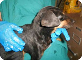 Manchester Terrier Mix Dog for adoption in Yuba City, California - 9/29 Unnamed