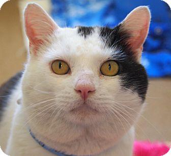 Domestic Shorthair Cat for adoption in Coronado, California - Big Boy