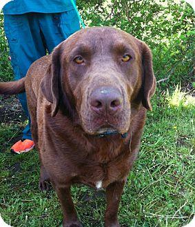 Labrador Retriever Dog for adoption in Westport, Connecticut - *Moose - PENDING