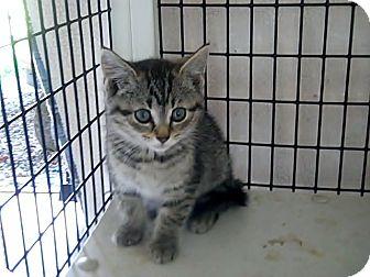 Domestic Shorthair Kitten for adoption in Monterey, Virginia - Lila