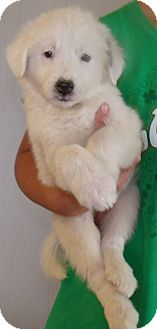 Australian Shepherd Mix Puppy for adoption in Corona, California - SNOWBALL PUPS B