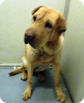 Shar Pei/Labrador Retriever Mix Dog for adoption in Lincolnton, North Carolina - Leia