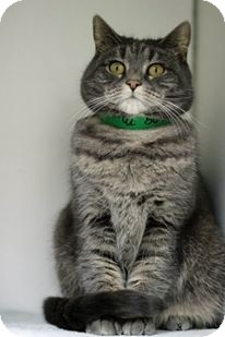 Domestic Shorthair Cat for adoption in Tinton Falls, New Jersey - Moon