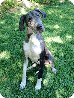 Great Dane Dog for adoption in Austin, Texas - Domino