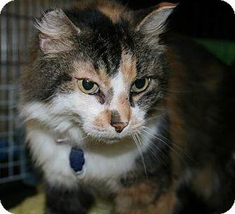 Domestic Mediumhair Cat for adoption in Edmonton, Alberta - Sasha