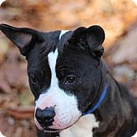 Adopt A Pet :: Jolie - Port Washington, NY