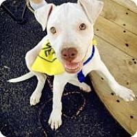 Adopt A Pet :: Koda - justin, TX