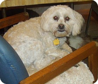 Lhasa Apso/Poodle (Miniature) Mix Dog for adoption in Buford, Georgia - Rags